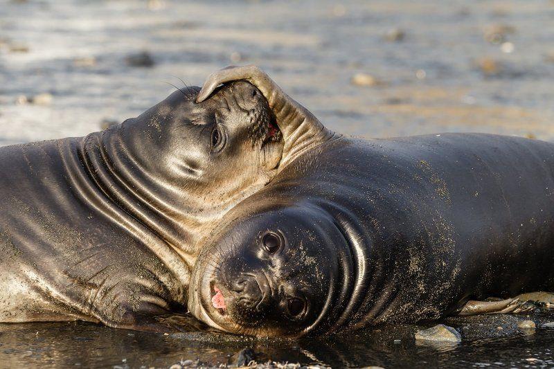 Антарктика, Морской слон, Южная Георгия Не перебивай!photo preview