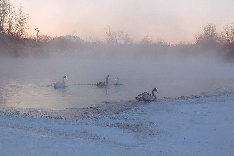 Река. Зима. Лебеди. Утро Нового года.photo preview