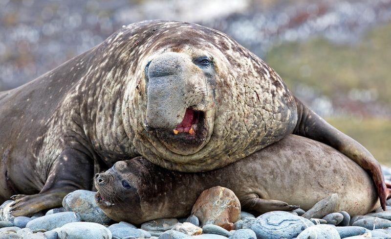 Из жизни Южных морских слоновphoto preview