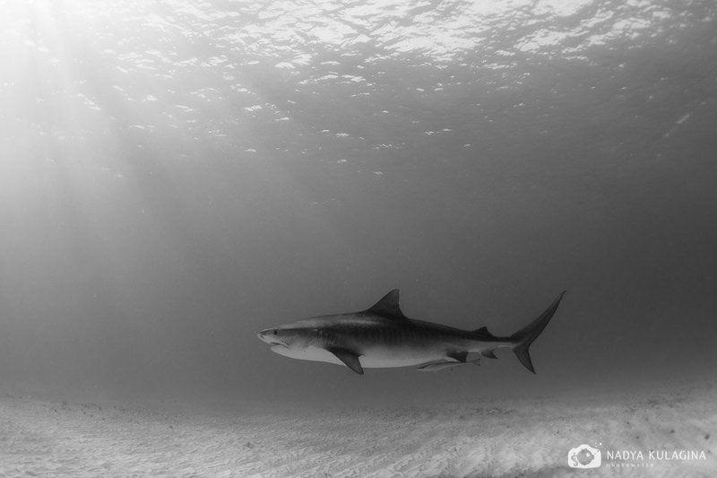 shark, tiger shark, tiger, sun, rays Glidingphoto preview
