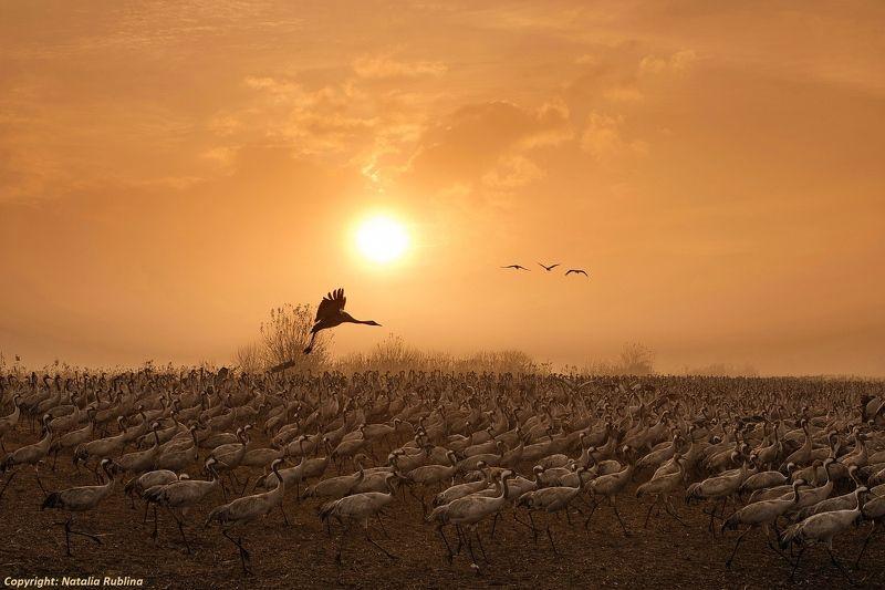 животные, журавли, природа, птицы, рассвет, свет, солнце, утро Журавушки на рассвете...photo preview