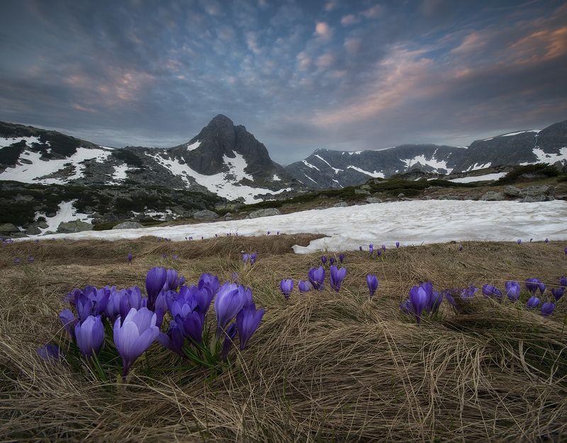 болгария, горы, шафраны, крокусы Крокусы в горахphoto preview