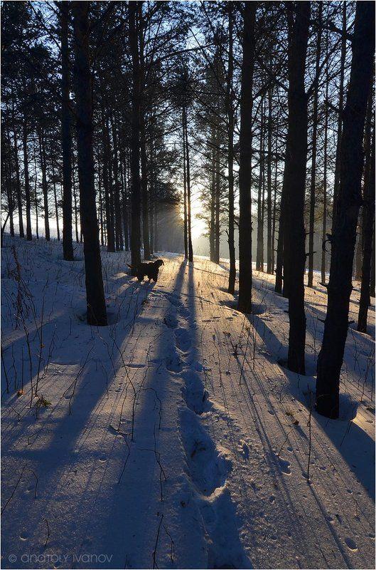 Зима сосновый лес, Прогулка, Собака, Тени Прогулка зимним вечеромphoto preview