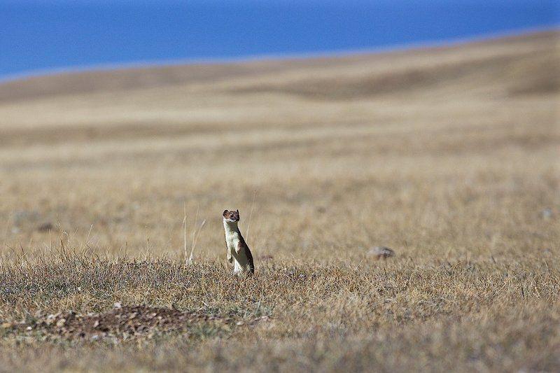 горностай, горный алтай, дикая природа Лизаphoto preview
