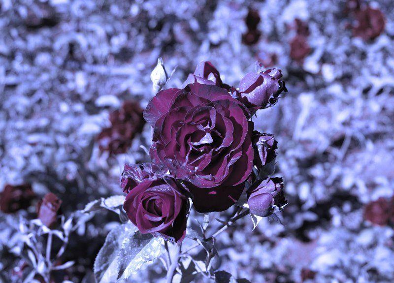 роза Ночная розаphoto preview