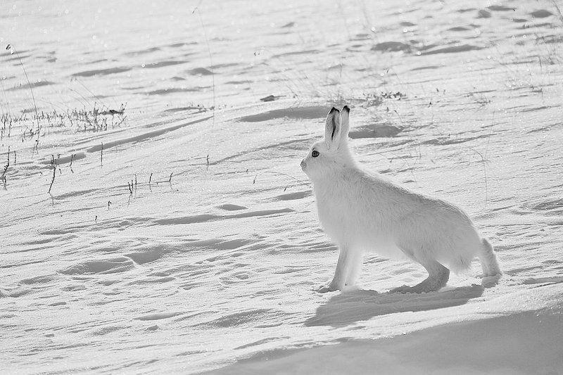 заяц-беляк,природа,зима, раз.два.три.четыре.пять... вышел зайчик погулятьphoto preview
