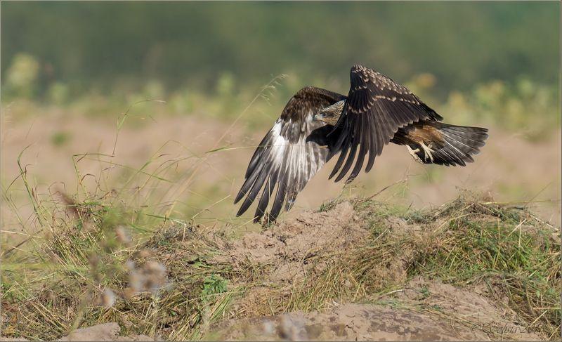птицы, природа, milvus migrans, коршун чёрный, молодой, лето, август, 2015 Отрывphoto preview