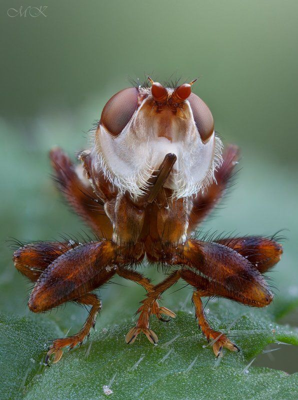 conopidae, myopa Смешнаяphoto preview