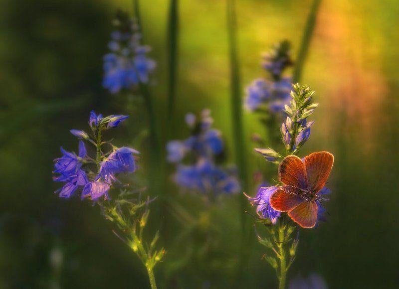 Бабочка, Вечер, Голубянка, Лето Symmetryphoto preview