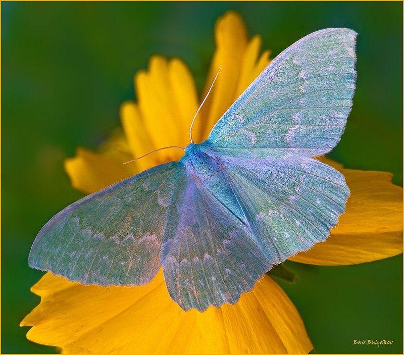 бабочка, малинница Пяденица большая зелёнаяphoto preview