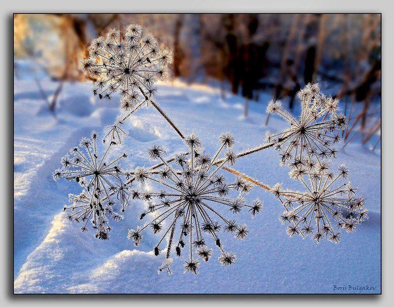 зима, мороз, зонтичные Одуванчики Снежной Королевыphoto preview