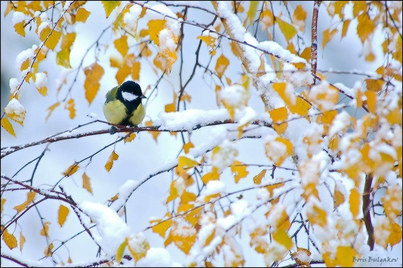 синица, берёза, снег Этюд за кухонным окномphoto preview
