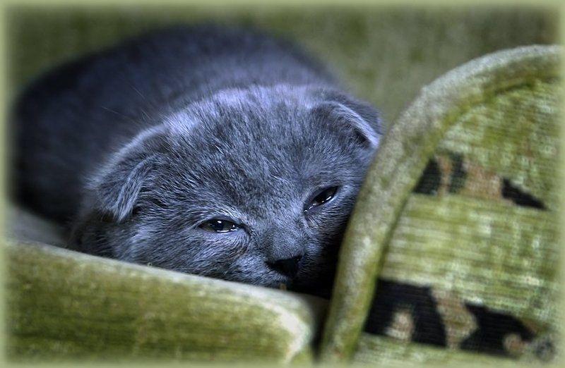 котенок, скотишфолд Баю-бай!photo preview