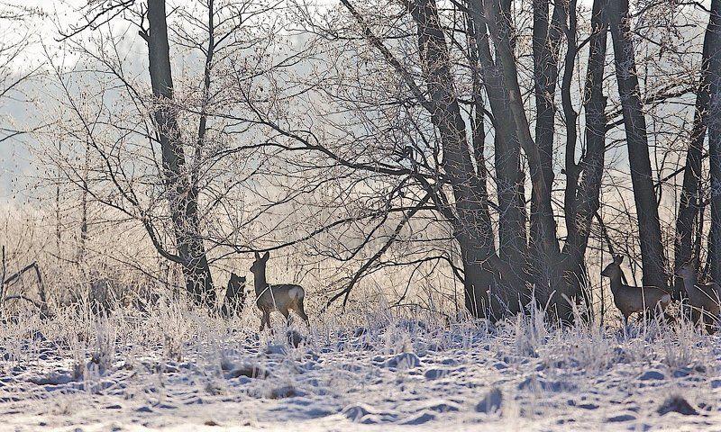болото, дикая природа, зима, косули, лес, лось, опушка, февраль Солнечным утромphoto preview