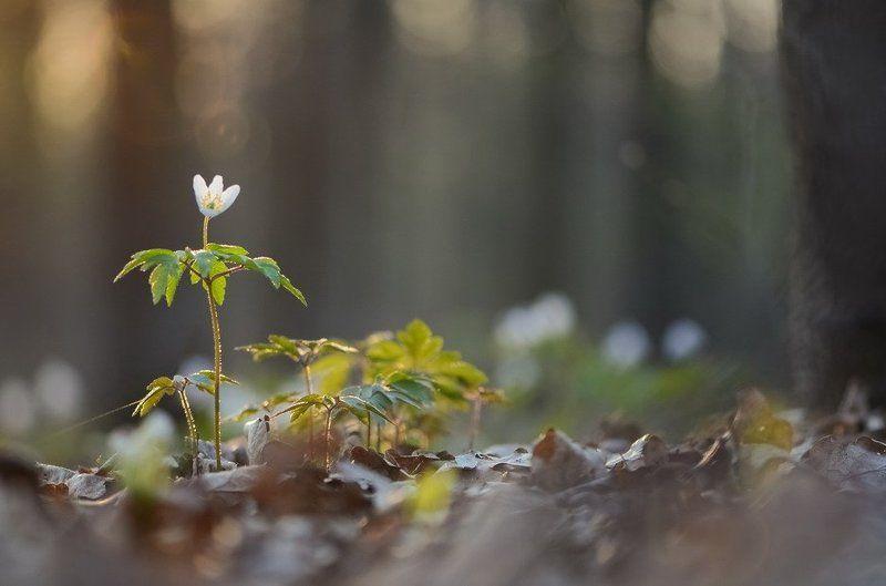 Ветреница, Лес, Цветы Купаясь в лучах солнцаphoto preview