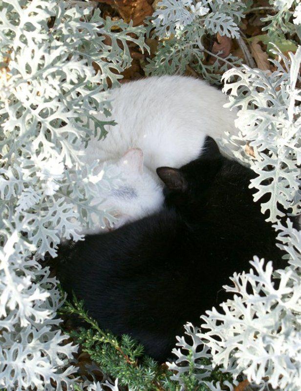 кошка, кот Инь-Янphoto preview