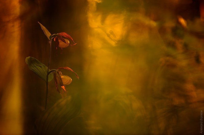 венерин башмачок, цветок, крсная книга Солнца вечерний мольбертphoto preview
