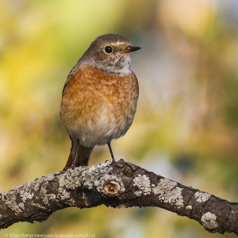Горихвостка Redstart.photo preview