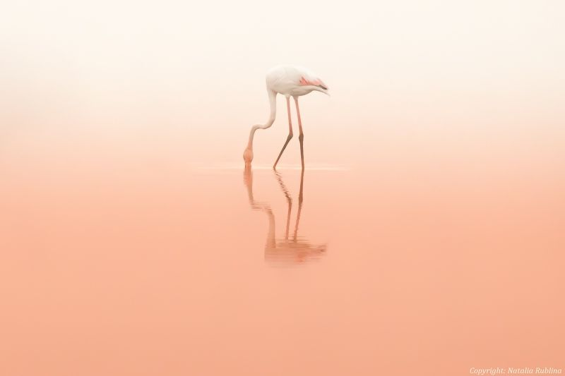 Животные, Природа, Птицы, Розовый рассвет, Тишина, Фламинго Розовая тишина ...photo preview