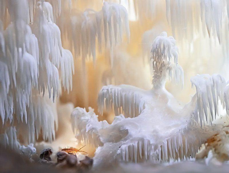 Ежевик коралловидный, Коллембола Усатый спелеологphoto preview