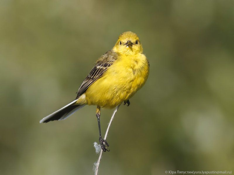 Трясогузка Yellow-backed Wagtail.photo preview