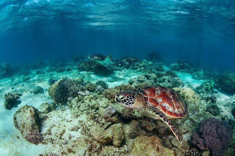черепаха, филиппины, подводное, море, кооралл Идиллияphoto preview