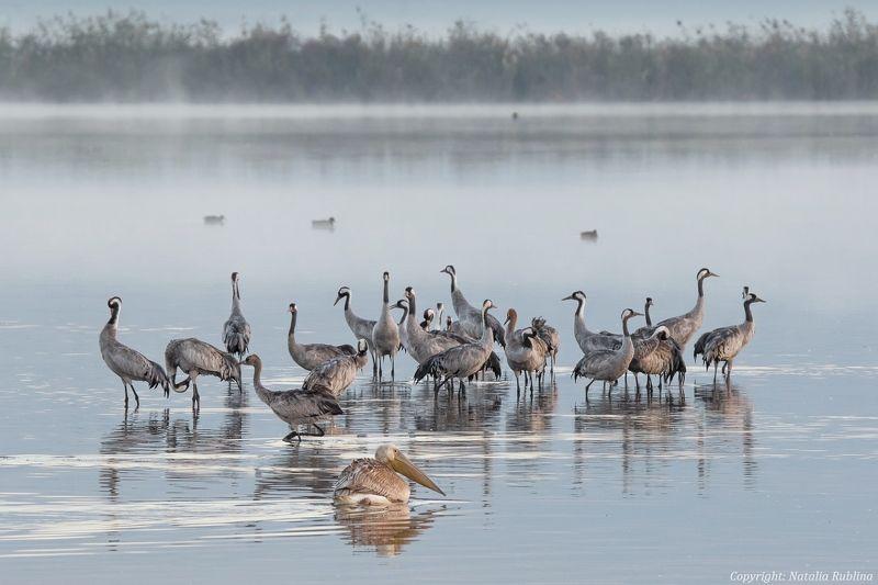 Животные, Журавли, Озеро, Пеликаны, Природа, Птицы, Туман, Утро - Доброе утро !photo preview