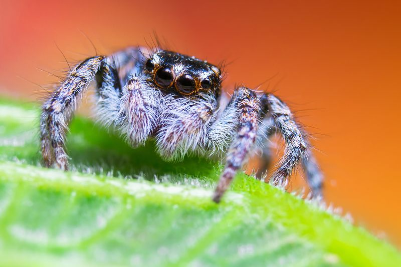 Jumping Spiderphoto preview