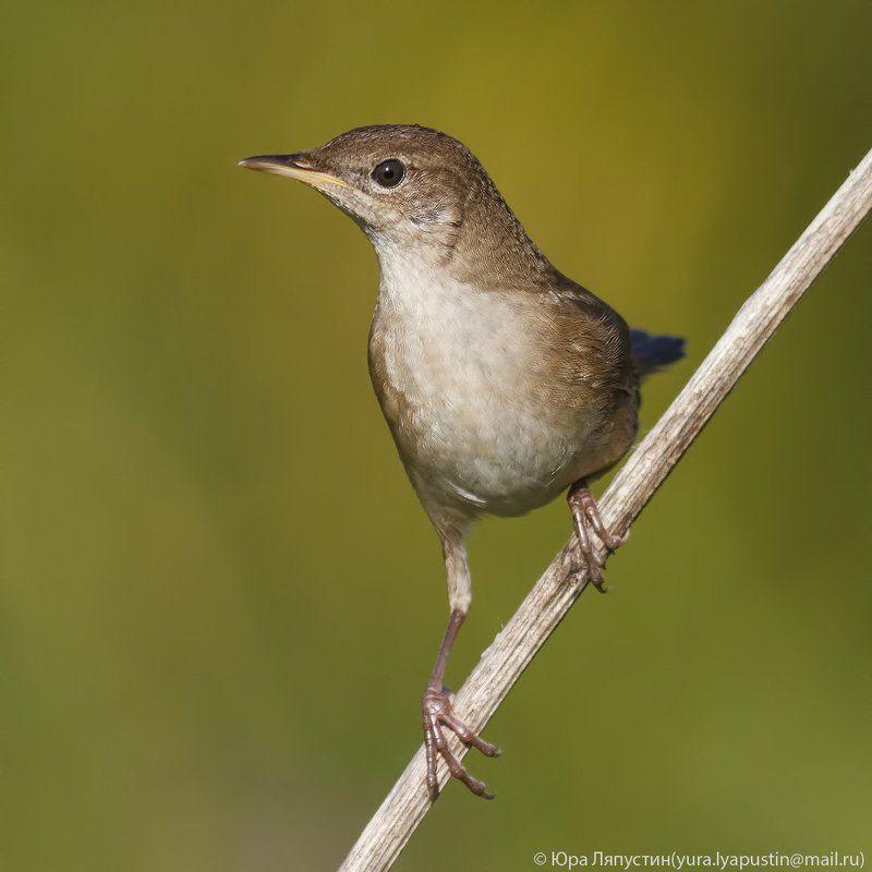 Соловьиный сверчок Savi\'s warbler.photo preview