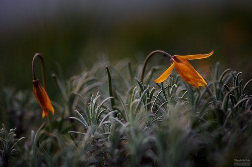 Скифские тюльпаны II