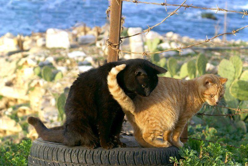 кот, кошка Черно-рыжее кольцоphoto preview
