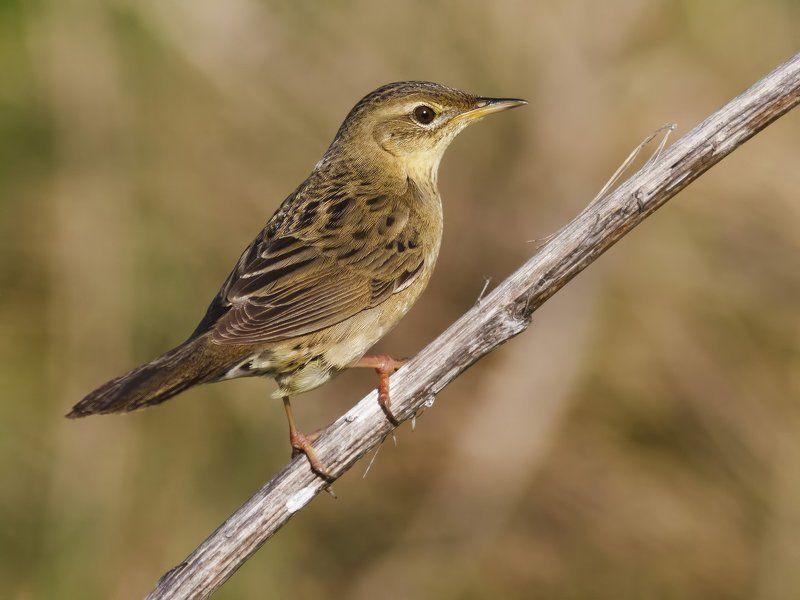 Камышевка Grasshopper-warbler.photo preview