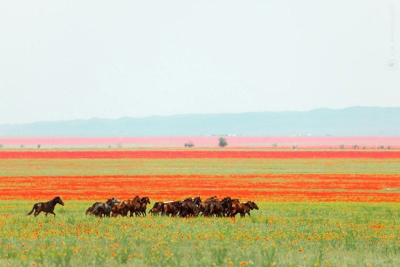 Цветущие маки и табун лошадей, Алматинская область, Казахстанphoto preview