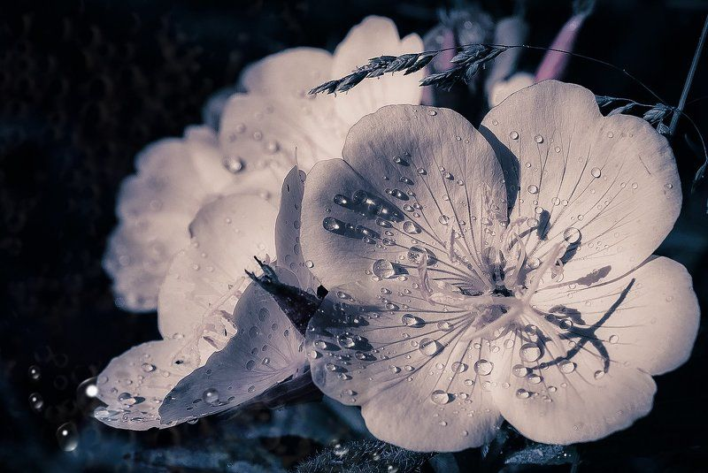 цветок белый,капли воды, ****photo preview