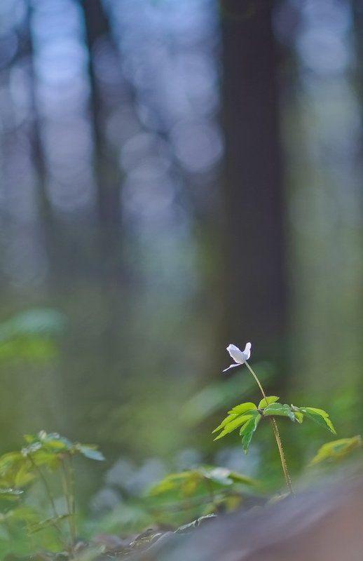 Весна, Ветреница, Цветы Весенняя рапсодияphoto preview
