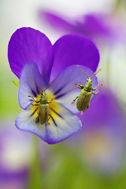 фиалка, виола, цветы, природа, макро, жук, боке, petzval, helios О дикой фиалкеphoto preview