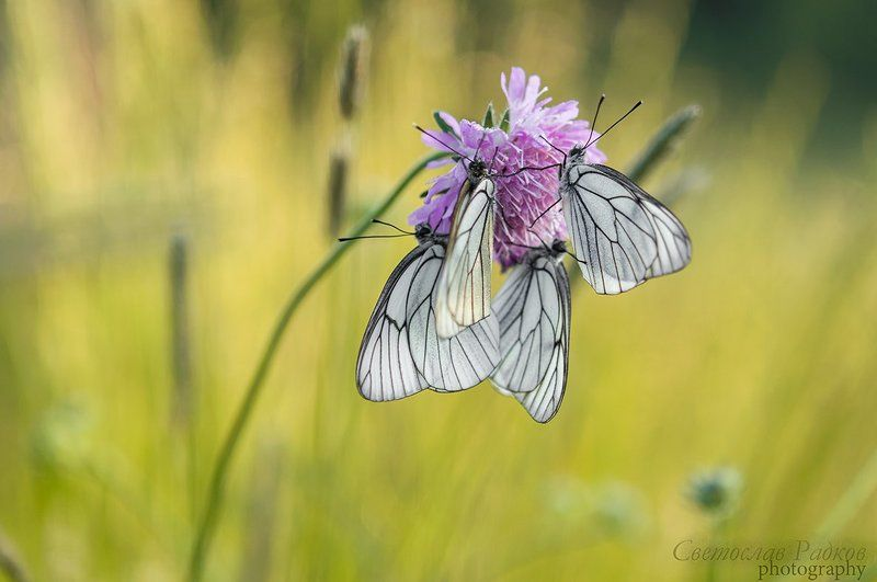Macro insect, Дикая природа, Макро, Пеперуди Бели пеперуди в очакване на утротоphoto preview