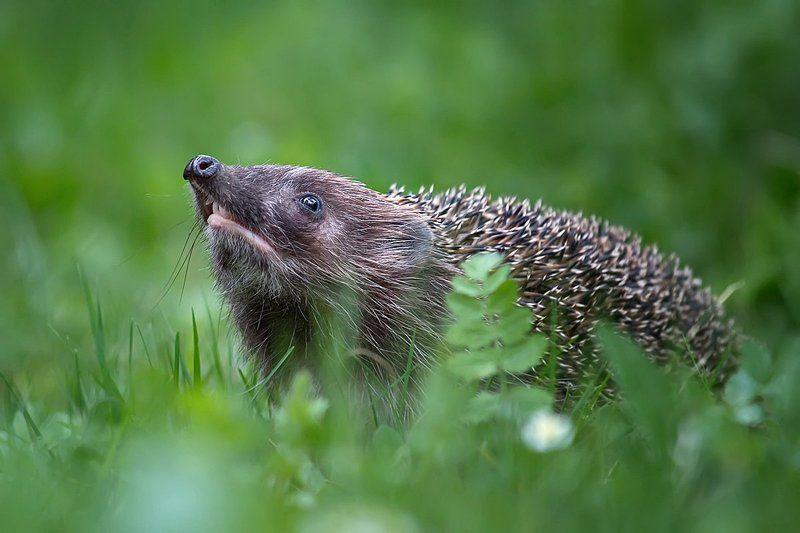 ёж, ёжик, ежи, животные, дикие животные, природа, млекопитающие О ежахphoto preview