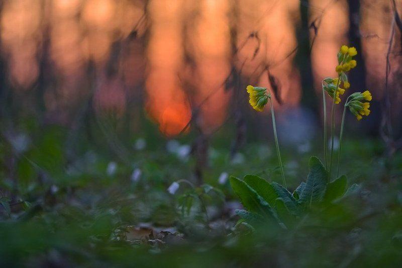 Боке, Ветреница, Вечер, Закат, Лес, Первоцвет, Цветы А вечер был так сладокphoto preview