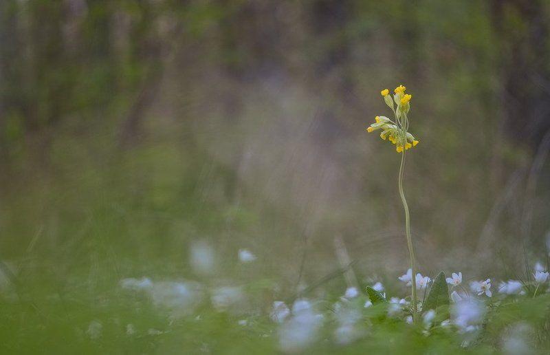 Ветреница, Лес, Первоцвет, Поляна, Цветы Выскочкаphoto preview