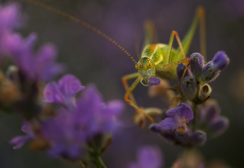 green, insect, lavender field, macro, natural light, nature, purple, summer, sun, sunlight, sunrise, yellow Thief of lavenderphoto preview