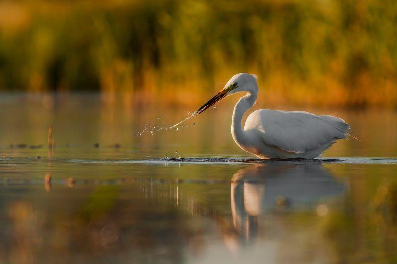 White egret (Egretta alba)photo preview