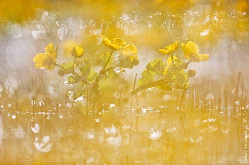 Калужница болотная, природа, флора, цветы, цветок, озеро Жёлтый миражphoto preview