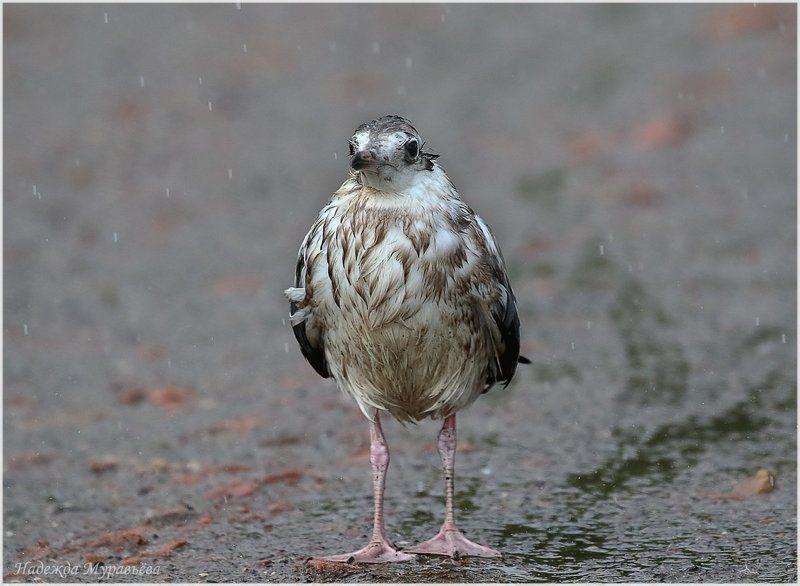 Larus Ridibundus, Дождь, Озерная чайка, Птенец Дождьphoto preview