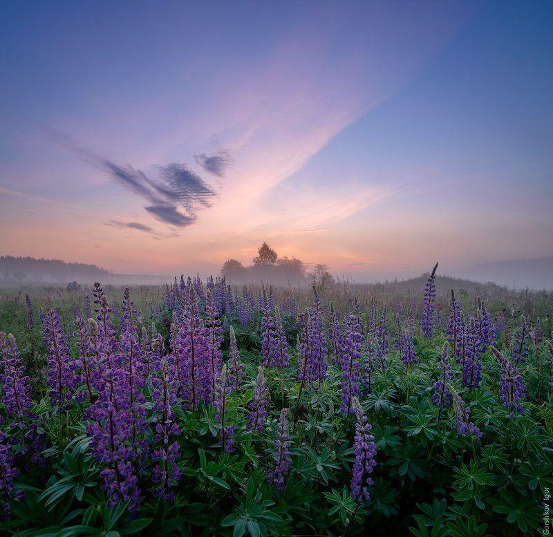 Лето, Люпины, Небо, Пейзаж, Полевые цветы, Рассвет, Угра, Утро, Цветы Утренний пейзаж в люпиновом полеphoto preview