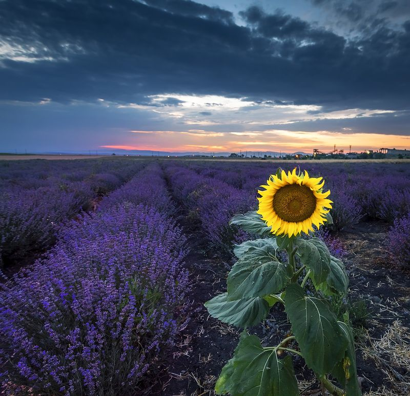 sunset, sunflower, lavender, flowers, sky, blue, purple, clouds Sunset in the fieldsphoto preview