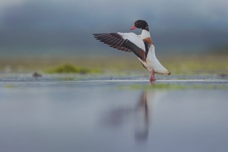 shelduck shelduckphoto preview