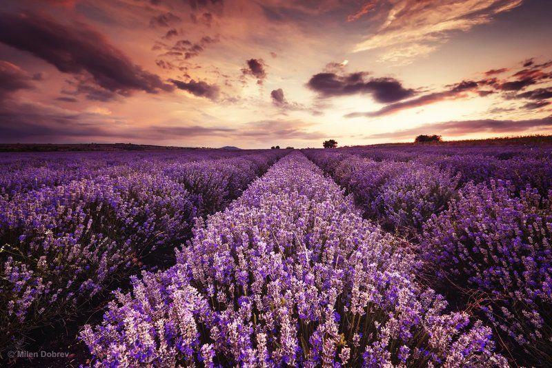 Bulgaria, lavender, landscape, sunset, закат, лаванда ***photo preview