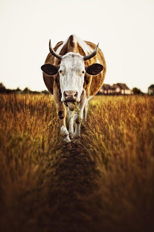 корова, скот, поле, животные,  В полеphoto preview