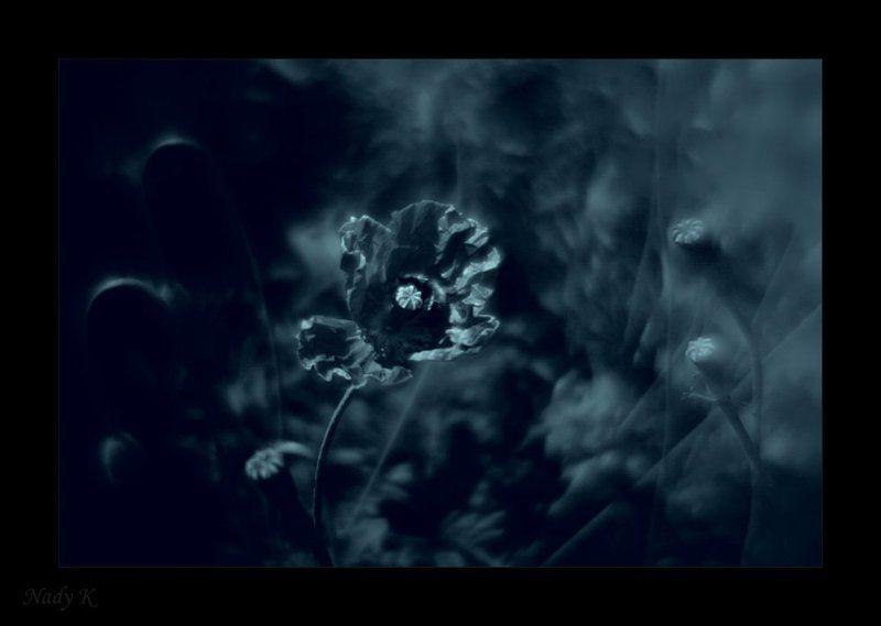 цветы, маки, монокль Маковое поле... головокружение.. Ночь - время фантазии.. воображения..photo preview